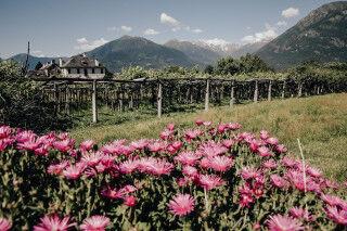 tagAlt.Alto Piemonte wines flowers vineyards Cover