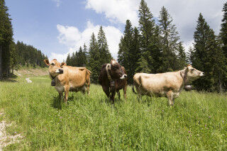 tagAlt.PIAVE DOP Interview Cows Cover