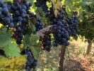 tagAlt.How choose cabernet sauvigno vs merlot
