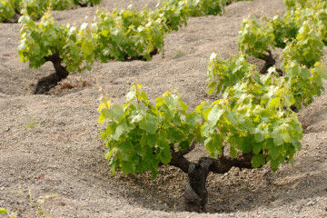 tagAlt.Alberello Pantelleria island vines 1