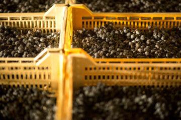 tagAlt.Amarone grapes appasimento Tedeschi 7
