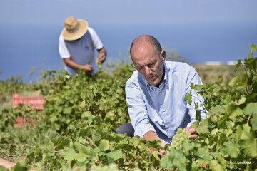 tagAlt.Antonio Rallo harvesting Pantelleria Zibibbo grapes 11