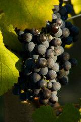 tagAlt.Borgogno grape bunch Nebbiolo 5