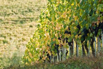 tagAlt.Borgogno vineyards 1