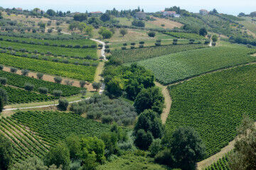 tagAlt.Casacanditella Trebbiano Pecorino Castello White Grape Harvesting 7