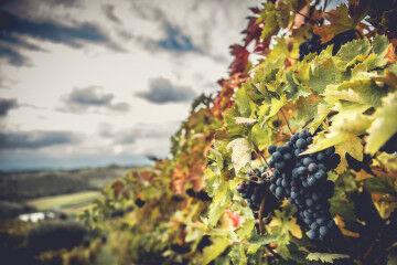tagAlt.Colonnella Lina Classica Montepulciano grapes 1