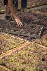 tagAlt.Drying process Donnafugta Passito grapes 2