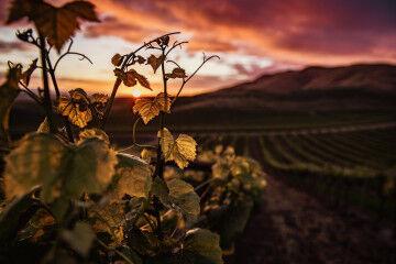 tagAlt.Grape tendril sunset Tuscany countryside 4