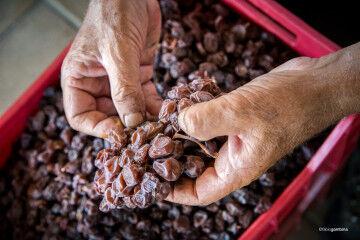 tagAlt.Hand destemming Donnafugata Passito grapes 6