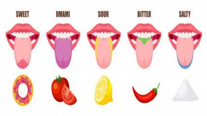 tagAlt.Human tongue tasting areas Umami 8