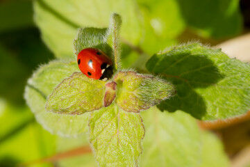 tagAlt.Ladybug Rocca delle Macìe good insects sustainable 8
