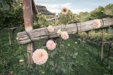 tagAlt.Lake Garda vineyards Roses pink 4