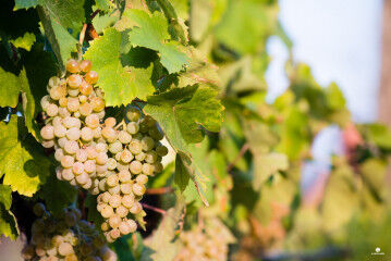 tagAlt.Librandi Greco Bianco White Grapes 3