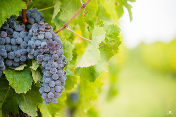tagAlt.Librandi Tenuta Brisi Red Grapes 6