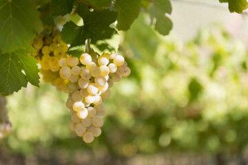 tagAlt.Montupoli white grapes hanging vines 5