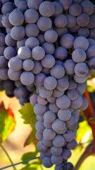 tagAlt.Nebbiolo grapes hanging Valtellina 6