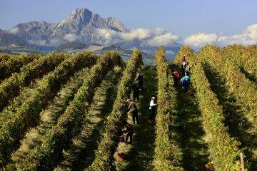 tagAlt.People harvesting Abruzzo grapes 11