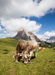 tagAlt.Piave area cows mountain pastures 6