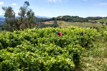 tagAlt.Podere Le Ripi Bonsai vineyard 4