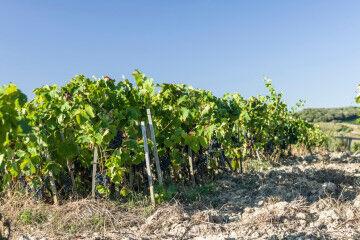 tagAlt.Podere le Ripi Vineyards 9