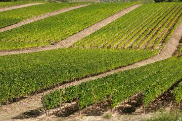 tagAlt.Rocca delle Macìe Terrazze Vineyard 4