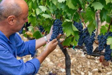 tagAlt.Rocca delle Macie Sergio Zingarelli grapes 3