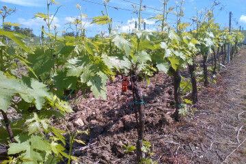 tagAlt.Rocca delle Macie Sustainable Agro practices 4