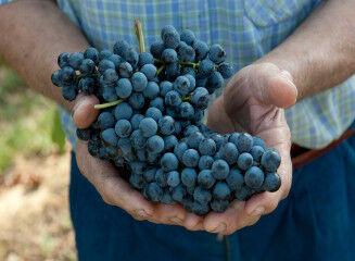 tagAlt.Roero Piedmont red grapes hands 2