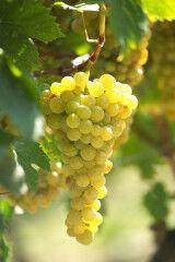 tagAlt.Roero white grapes bunch 4