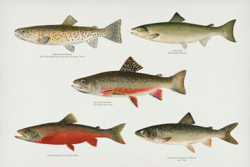 tagAlt.Salmon Upstream Lithograph 4