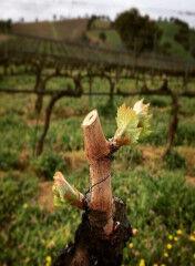tagAlt.Sangiovese grape rebirth Rocca delle Macìe 6