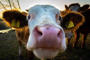 tagAlt.The Consumer Brand Cow face