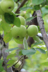 tagAlt.Valtellina Green Apples 5