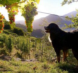tagAlt.Valtellina grapes Alps dog 9