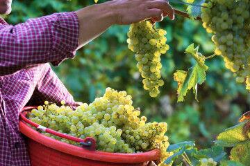 tagAlt.White grapes general harvesting Garda 2